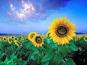 field of sunflowers cordoba andalucia spain