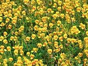Bristly Smithia, Smithia setulosa, Khas, Kaas, Plateau of flowers, Satara, Maharashtra, India
