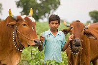 Ten year old farmer boy hold nose bridle of two bullocks , village Vaitagvadi , Parbhani , Marathwada , Maharashtra , India MR688