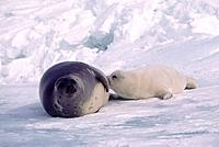 Harp seal nursing