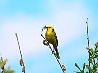 Yellow Wagtail with food in it´s beak