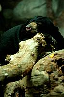 Sunbear sleeping on rock