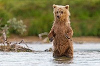 Alaska , Katmai National Park and Preserve , Grizzly bear  Ursus arctos horribilis  , order : carnivora ,family : ursidae ,