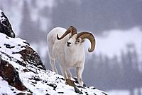 A dall sheep walking down a rocky slope.
