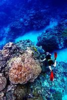 A snorkelling free diver takes an underwater photo over a coral reef.