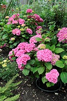 Pot grown Hydrangeas 'Hamburg' with water retaining trays under pots, situated in large garden shrubbery, Norfolk, England, july