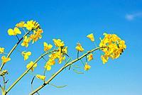 Flower of rape