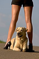 Labrador Retriever Canis lupus f. familiaris, lying between the attractive legs of a woman