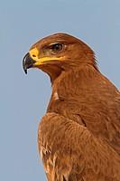 steppe eagle Aquila nipalensis, Aquila rapax nipalensis, portrait, Oman