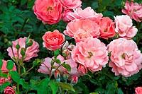 ornamental rose Rosa Bluehwunder, cultivar Bluehwunder