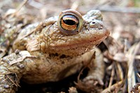 European common toad Bufo bufo, male sitting among dry grass and foliage, Germany, North Rhine_Westphalia