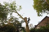 Treeworker cutting a tree with help of a crane. The Netherlands