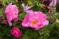 ornamental rose Rosa ´Marguerite Hilling´, Rosa Jacque Marguerite Hilling, cultivar Marguerite Hilling