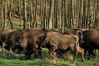 European bison, wisent Bison bonasus, herd in a meadow at the edge of a light forest, Germany