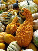 ornamental pumpkin Cucurbita pepo convar. microcarpina, different ornamental pumpkins, Germany