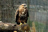 British Wildlife _ Buzzard
