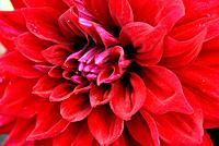 Red Dahlia Flower Closeup