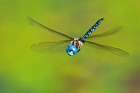 Blue_eyed Darner male, British Columbia, Canada.