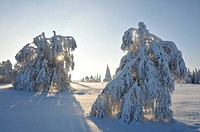 snow covered landscape in backlight with single trees on an open field, Germany, North Rhine_Westphalia, Hochsauerland