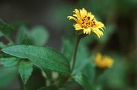 Wedelia Wedelia calendulacea, blooming