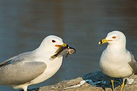 Ring_billed gulls Larus delawarensis with Round goby Neogobius melanostomus, an invasive species found within the Great Lakes, Lake Ontario, Toronto, ...