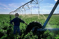 A farmer overlooking center pivot irrigation system irrigating potato field near Holland, Manitoba, Canada