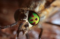deerfly, deer_fly, breezefly, breeze_fly, horsefly, horse_fly Chrysops relictus, compound eye