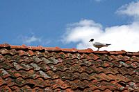 Seagull on red roof