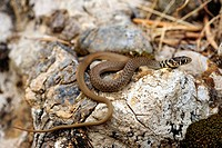 Balkan whip snake Hierophis gemonensis, Coluber gemonensis , juvenile on rocks, Greece, Peloponnes