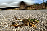 Greek March Frog Pelophylax kurtmuelleri, Rana kurtmuelleri, Rana balcanica, killed frog on a street, Greece, Peloponnes, Messinien