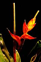 Lobster Claw / Heliconia flower