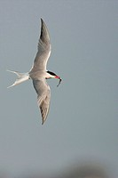 common tern Sterna hirundo, flying with a fish in the beak, Netherlands, Texel