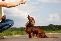 Long_haired Dachshund, Long_haired sausage dog, domestic dog Canis lupus f. familiaris, miniature sausage dog sitting in front of a woman looking up t...