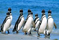 Magellanic penguins on the beach