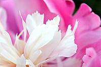 Closeup photo of pink peony