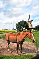 Horse in the Netherlands
