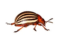 Colorado potato beetle, Colorado beetle, potato beetle Leptinotarsa decemlineata, lateral view, Austria