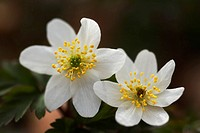 wood anemone Anemone nemorosa, two flowers, Germany, North Rhine_Westphalia