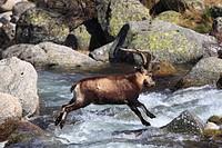 Spanish ibex Capra pyrenaica victoriae, passing a creek, Spain, Sierra De Gredos