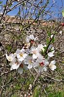 sweet almond Prunus amygdalus var. dulcis, Prunus dulcis var. dulcis, blooming almond branch, Cyprus