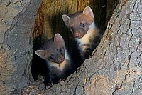 European pine marten Martes martes, two youngsters in a tree hole, Germany