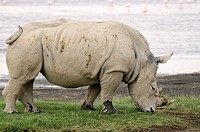 White Rhinoceros or Square-lipped rhinoceros Ceratotherium simum Lake Nakuru National Park Kenya Africa