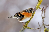 brambling Fringilla montifringilla, male sitting on a branch in winter, Germany