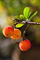 Strawberry tree in Cadalso de los Vidrios, Madrid, Spain