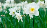 White spring flower Narcissus