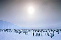 large group of emperor pinguins