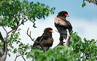 Bateleur Eagle, terathopius ecaudatus, Pair standing in Tree, Namibia