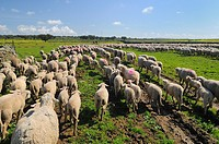 Migratory flock of merino sheep. Cáceres province. Extremadura. Spain