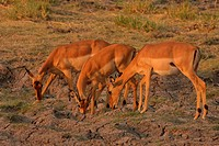 impala Aepyceros melampus, three animals drinking from puddles in the savannah, Botswana, Chobe National Park