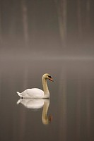 mute swan Cygnus olor, on misty lochan at dawn, United Kingdom, Scotland, Cairngorms National Park
